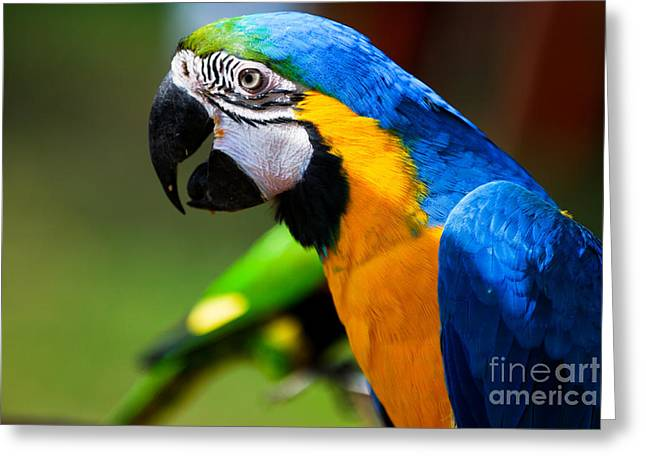 Best Selling Bird Art Greeting Cards - The Brazilian Parrot Greeting Card by Syed Aqueel
