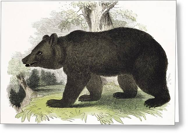 Wild Drawings Greeting Cards - The Brown Bear, Educational Greeting Card by Josiah Wood Whymper