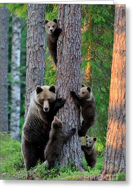 A Summer Evening Greeting Cards - The Brown Bear Family Greeting Card by Erik Mandre