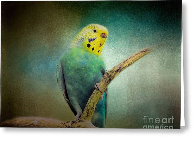 Parakeet Greeting Cards - The Budgie Collection - Budgie 1 Greeting Card by Jai Johnson
