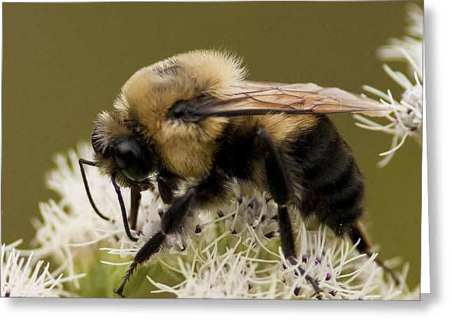 Princes Greeting Cards - The Bumble Bee.. Greeting Card by Nina Stavlund