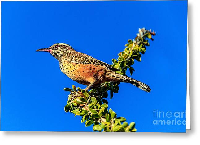 Haybale Greeting Cards - The Cactus Wren Greeting Card by Robert Bales