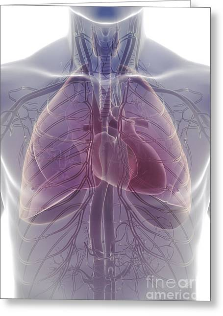 Cava Greeting Cards - The Cardiovascular And Respiratory Greeting Card by Science Picture Co