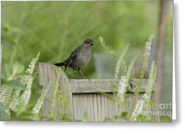 Garden Scene Photographs Greeting Cards - The Catbirds Seat Greeting Card by Randy Bodkins