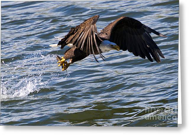 American Bald Eagle Greeting Cards - The Catch Greeting Card by Mike Dawson