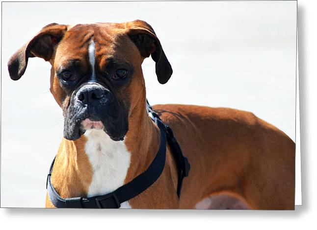 Boxer Digital Greeting Cards - The Challenge Greeting Card by Camille Lopez