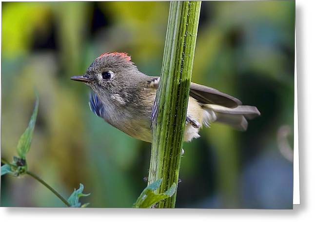 Ruby-crowned Kinglet Birds Greeting Cards - The Challenge Greeting Card by Gary Holmes