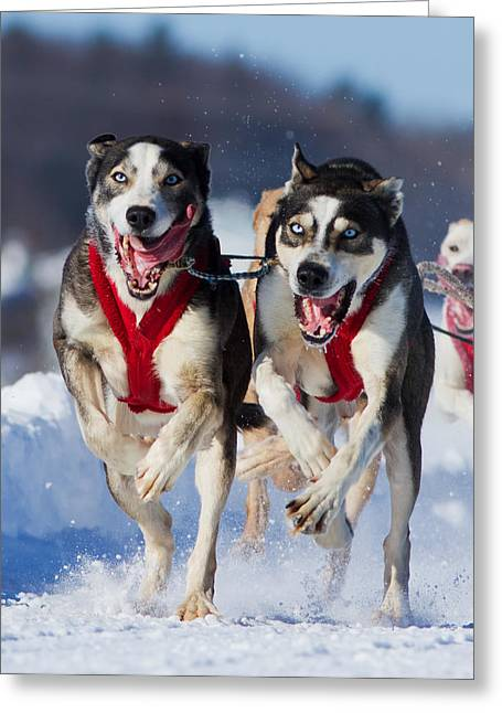 Huskies Greeting Cards - The Champions Greeting Card by Mircea Costina Photography