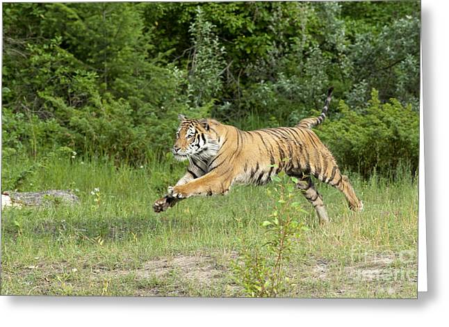 Asian Wildlife Greeting Cards - The Chase Begins Greeting Card by Sandra Bronstein