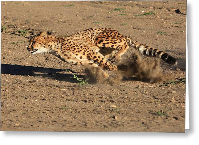 Cheetah Running Greeting Cards - The Chase Greeting Card by Donna Kennedy