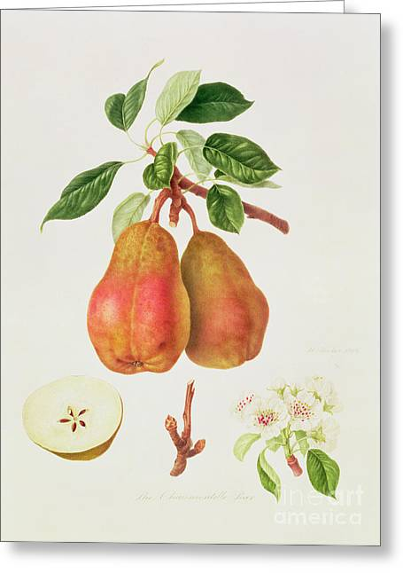 Pears Greeting Cards - The Chaumontelle Pear Greeting Card by William Hooker