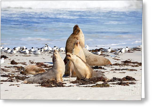 Sea Lions Greeting Cards - The Choir Greeting Card by Mike Dawson