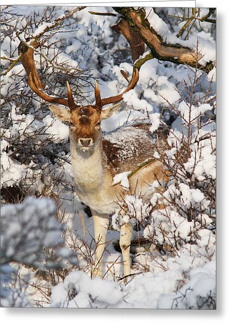 The Christmas Deer - Fallow Deer In The Snow Greeting Card by Roeselien Raimond