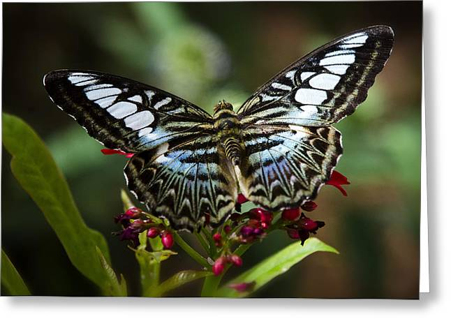 Clippers Greeting Cards - The Clipper Butterfly  Greeting Card by Saija  Lehtonen