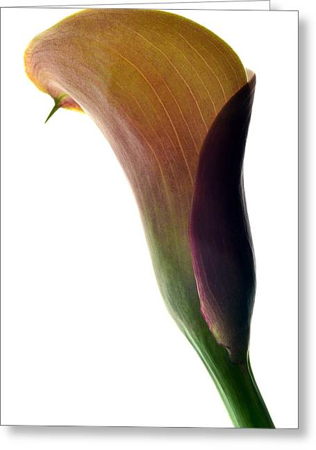 Calla Lily Greeting Cards - The Colours Of Calla. Greeting Card by Terence Davis