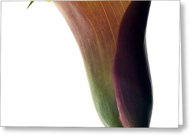 The Colours Of Calla. Greeting Card by Terence Davis