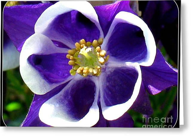 Oracular Greeting Cards - The Columbine Flower Greeting Card by Patti Whitten