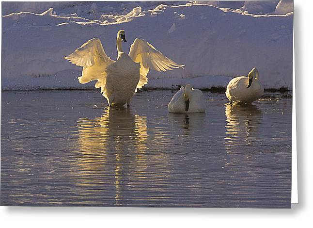 Swans... Greeting Cards - The Conductor Greeting Card by Priscilla Burgers