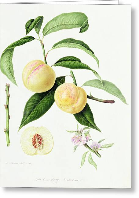 Plant The Seed Greeting Cards - The Conudray Nectarine Greeting Card by William Hooker