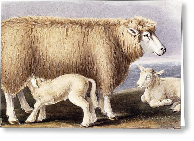 Wild Life Drawings Greeting Cards - The Cotswold Breed Greeting Card by David Low