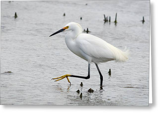 Snowy Egret Greeting Cards - The Creep Greeting Card by Benjamin DeHaven