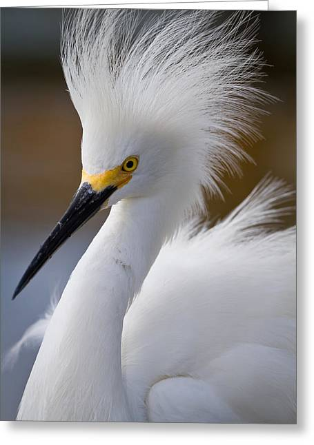 The Crest Of A Snowy Egret Greeting Card by Andres Leon