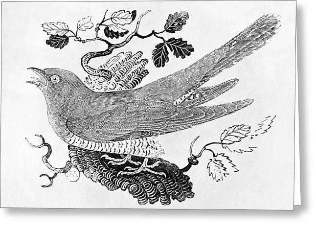 Print Photographs Greeting Cards - The Cuckoo Cuculus Canorus From The History Of British Birds Volume I, Pub. 1797 Wood Engraving Greeting Card by Thomas Bewick