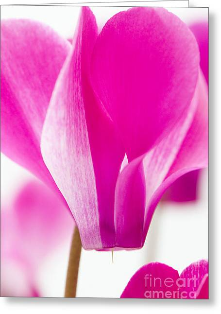 Anne Gilbert Greeting Cards - The Cyclamen That Fought Back Greeting Card by Anne Gilbert