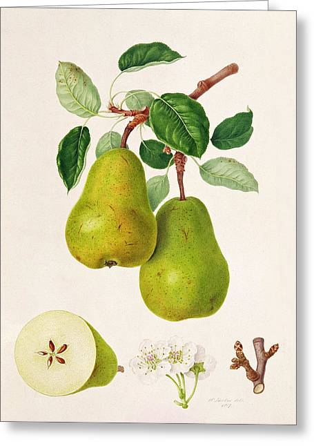 Botanical Greeting Cards - The DAuch Pear Greeting Card by William Hooker