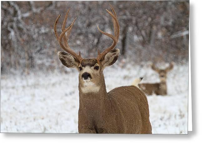 Mule Deer Buck Photograph Greeting Cards - The Defender Greeting Card by Jim Garrison