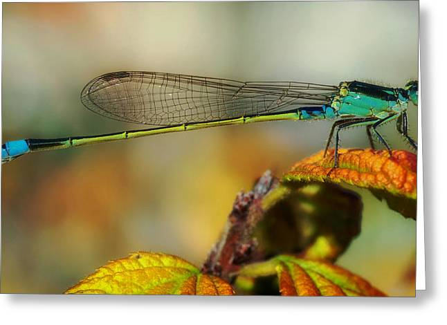 Blue Tail Greeting Cards - The Delicate Blue Tail Damselfly Greeting Card by Mountain Dreams