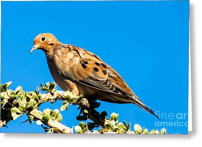 Morning Dove Photograph Greeting Cards - The Dove Greeting Card by Robert Bales