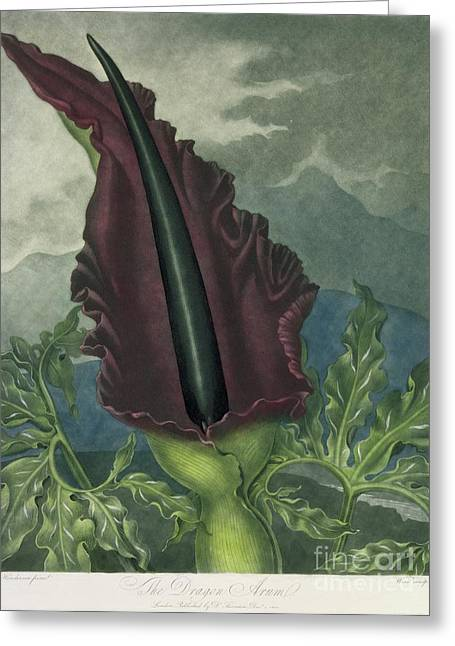 The Dragon Arum Greeting Card by Peter Charles Henderson