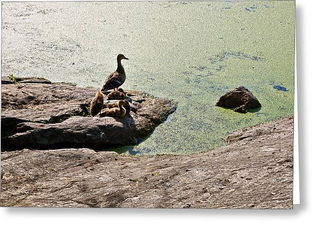 Ducklings Greeting Cards - The Duck Family Greeting Card by Madeline Ellis