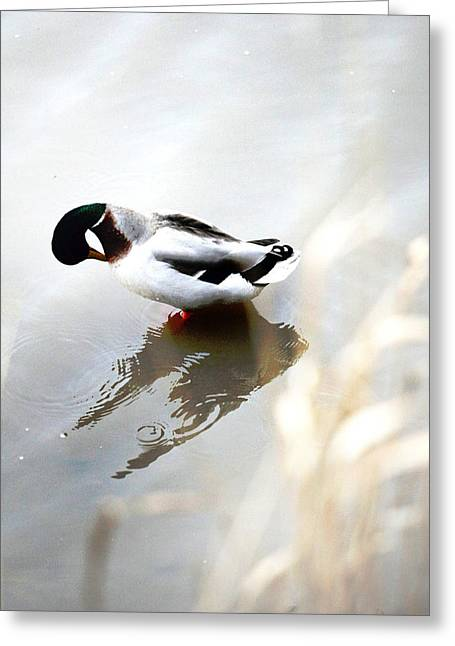 G. Pawer Greeting Cards - The Duck  Greeting Card by Paul Sutcliffe