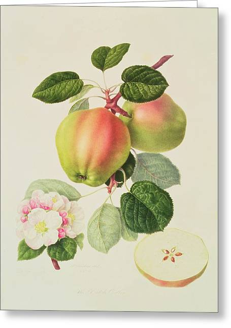 Apple Blossom Paintings Greeting Cards - The Dutch Codlin Greeting Card by William Hooker