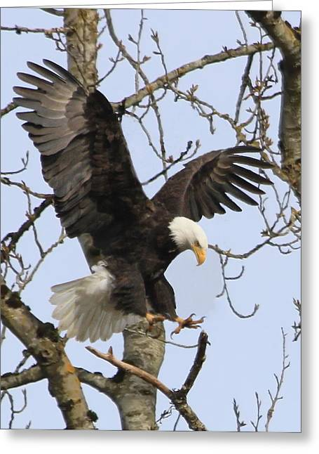 Winged Eagles Greeting Cards - The Eagle is Landing Greeting Card by Angie Vogel