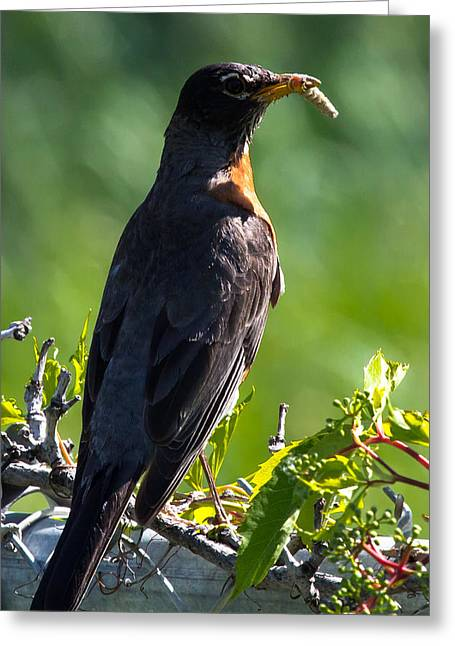 Feeding Birds Greeting Cards - The Early Bird Greeting Card by John Daly