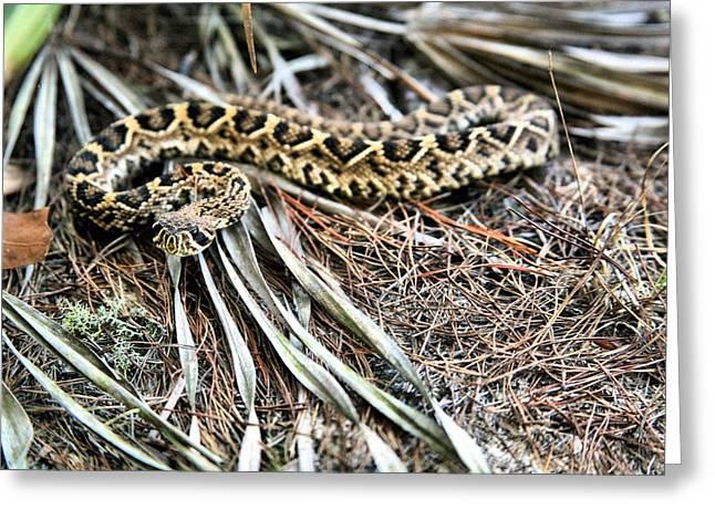 The Eastern Diamondback Rattlesnake Greeting Card by JC Findley