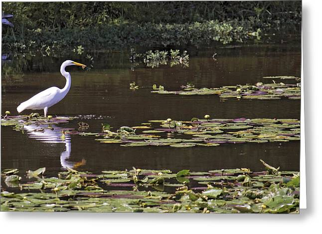 Conway Arkansas Greeting Cards - The Egret Hunter Greeting Card by Jason Politte