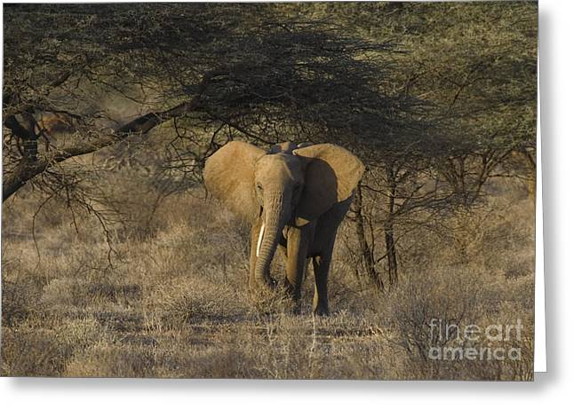 Acacia Tree Greeting Cards - The Elephant in the Acacias Greeting Card by Carol Walker