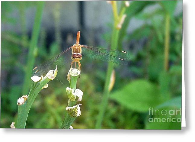 Stuffy Greeting Cards - The Emo Dragonfly Greeting Card by Deborah Smolinske