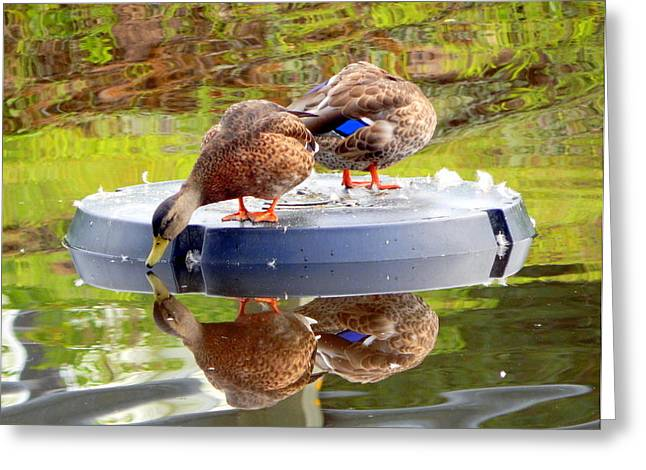 Annapolis Valley Greeting Cards - The Fairest Duck of All Greeting Card by Karen Cook