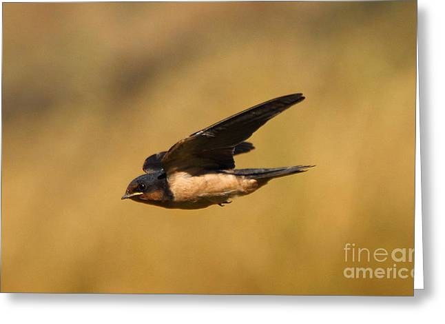 Swooping Greeting Cards - First Swallow Of Spring Greeting Card by Robert Frederick