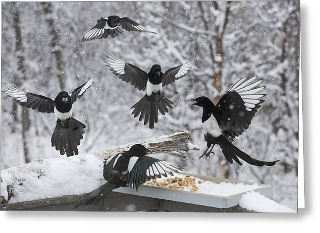 Magpies Greeting Cards - The Feeding Frenzy Greeting Card by Tim Grams