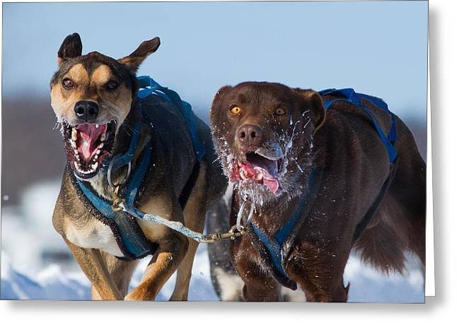 Huskies Greeting Cards - The final effort Greeting Card by Mircea Costina Photography
