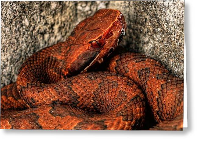 Florida Panhandle Greeting Cards - The Florida Cottonmouth Greeting Card by JC Findley