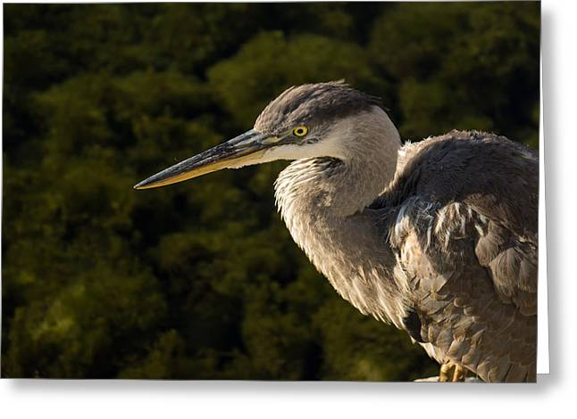 Zoology Greeting Cards - The Focused Hunter - Great Blue Heron Watching for Fish Greeting Card by Georgia Mizuleva