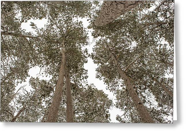 Pinus Resinosa Greeting Cards - The Forest Canopy Greeting Card by Tim Grams