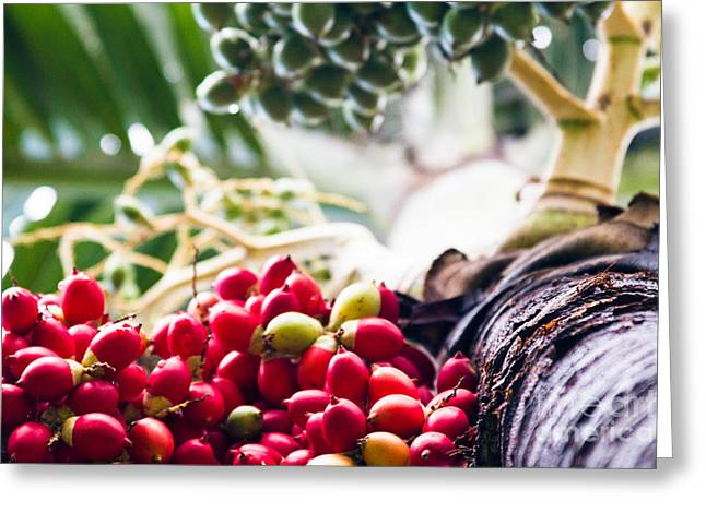 Fruit Tree Art Greeting Cards - The Foxtail Palm - Wodyetia - Red Palm Fruits Maui Hawaii  Greeting Card by Sharon Mau